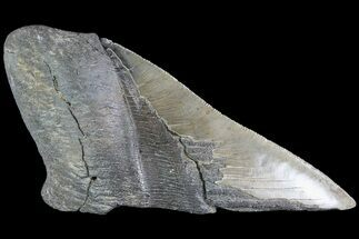 "Buy 5.79"" Partial Fossil Megalodon Tooth - Serrated Blade - #84253"