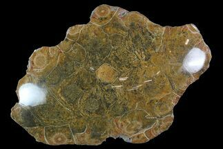 "Buy 4.1"" Polished Fossil Coral (Hexagonaria) - Morocco - #85054"