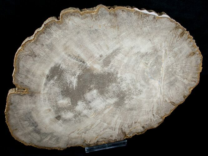 Petrified Wood Slab From Indonesia - 10x8