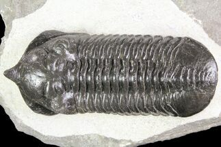 "Buy Large, 3.5"" Morocconites Trilobite Fossil - Morocco - #85549"