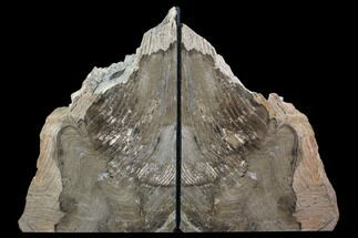 "Buy 7.8"" Tall, Petrified Wood Bookends - Oregon - #85993"