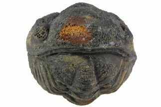 Buy Bumpy Enrolled Morocops (Phacops) Trilobite - #86422