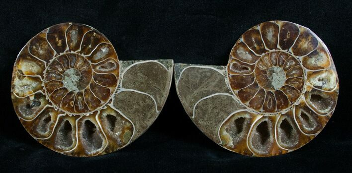 Cut & Polished Desmoceras Ammonite - 3.35""