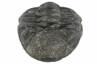 "Bargain, 1.4"" Wide Enrolled Pedinopariops Trilobite For Sale, #86549"