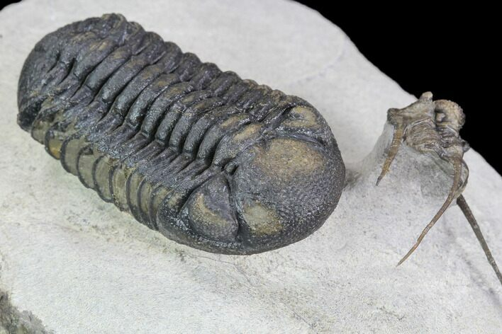 Barrandeops & Cyphaspis Trilobite Association - Foum Zguid