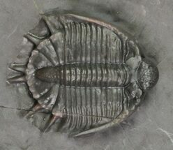 "Buy Excellent, .8"" Basseiarges Trilobite - Jorf, Morocco - #62722"