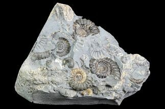 "2.3"" Ammonite (Promicroceras) Cluster - Somerset, England For Sale, #86246"