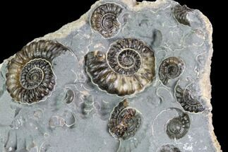 "Buy 2.4"" Ammonite (Promicroceras) Cluster - Somerset, England - #86233"