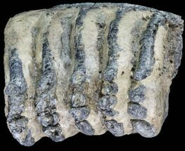 Mammuthus meridionalis - Fossils For Sale - #87546