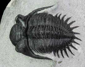 "1.8"" Kayserops Trilobite - Issoumour, Morocco For Sale, #87578"