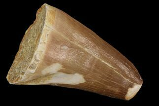 "Buy 1.6"" Mosasaur (Prognathodon) Tooth - #87616"