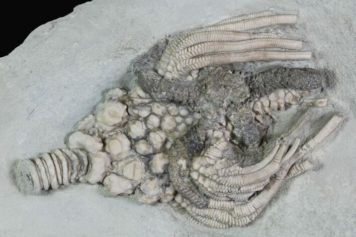 Large, Actinocrinites Crinoid With Starfish - Crawfordsville, Indiana
