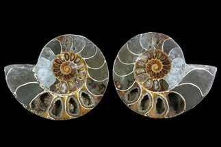 "3.7"" Cut & Polished Ammonite (Anapuzosia?) Pair - Madagascar For Sale, #88022"