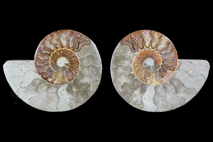 "Bargain, 4.8"" Cut & Polished Ammonite Fossil - Madagascar"