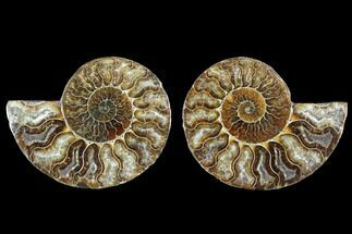 Cleoniceras - Fossils For Sale - #88218
