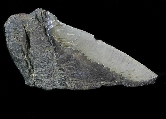 "5.4"" Partial Fossil Megalodon Tooth - Serrated Blade"