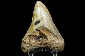 "Bargain, 3.59"" Megalodon Tooth - North Carolina For Sale, #88658"