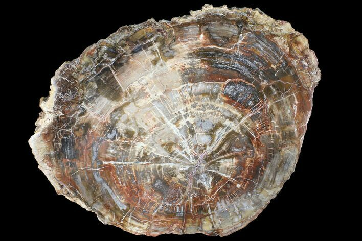 "15.9"" Colorful Petrified Wood (Araucaria) Round - Madagascar"