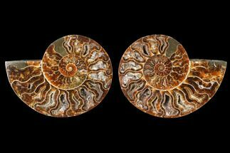Cleoniceras - Fossils For Sale - #88434