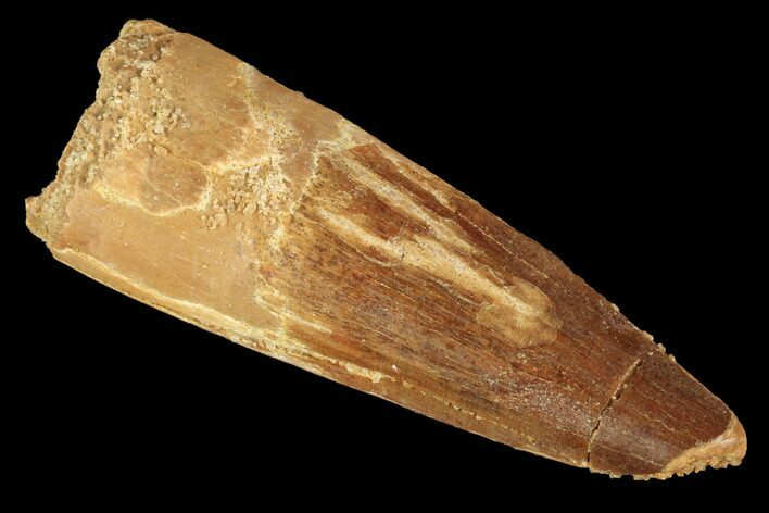 "1.95"" Real Spinosaurus Tooth - Feeding Worn Tip"