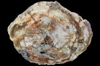 "15.4"" Colorful Petrified Wood (Araucaria) Round - Madagascar  For Sale, #88703"