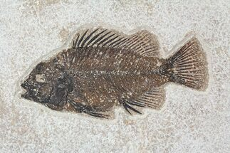 "5.25"" Cockerellites (Priscacara) Fossil Fish - Hanger Installed For Sale, #88778"