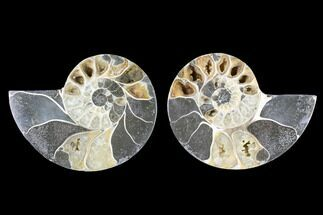 "3.7"" Cut & Polished Ammonite (Anapuzosia?) Pair - Madagascar For Sale, #88013"