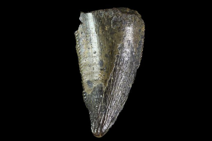 "Bargain, 59"" Raptor Tooth - Real Dinosaur Tooth"
