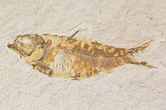 "Bargain, 3.9"" Fossil Fish (Knightia) - Wyoming For Sale, #89162"