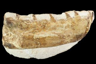 "Buy 3.8"" Mosasaur (Tethysaurus) Jaw Section  - Goulmima, Morocco - #89248"