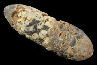 "2.1"" Agatized Seed Cone (Or Aggregate Fruit) - Morocco For Sale, #89195"