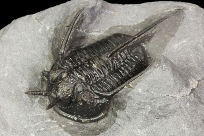 "1.55"" Devil Horned Cyphaspis Walteri Trilobite"