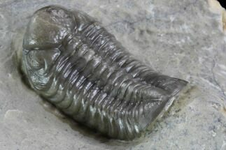 "1.1"" Unusual Phacopid Trilobite With Small Eyes - Jorf, Morocco For Sale, #89306"