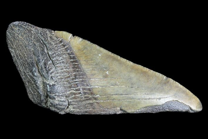 "4.28"" Partial Fossil Megalodon Tooth"