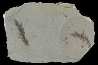 Metasequoia (Dawn Redwood) - Fossils For Sale - #89379