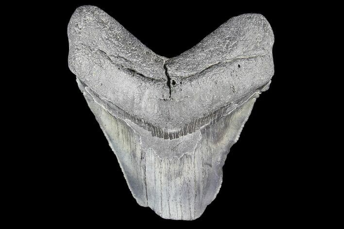 "Partial, 3.24"" Fossil Megalodon Tooth"