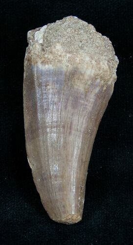"1.81"" Mosasaur Tooth - Cretaceous Reptile"