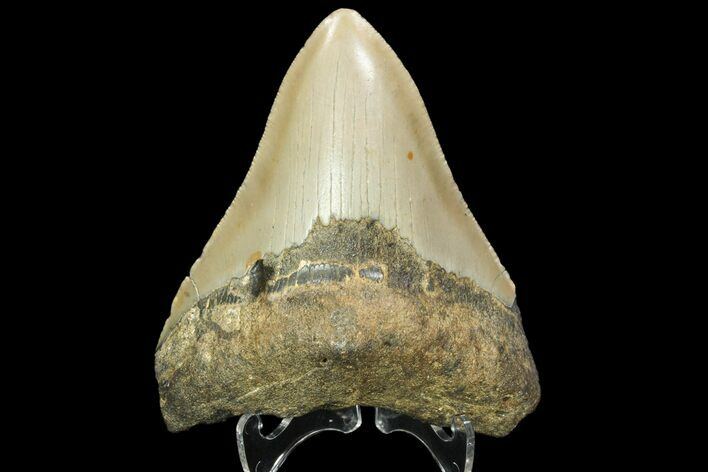 "Bargain, 3.77"" Megalodon Tooth - North Carolina"