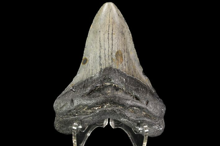 "3.69"" Fossil Megalodon Tooth - South Carolina"