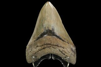 "Serrated, 4.64"" Fossil Megalodon Tooth - Georgia For Sale, #89795"