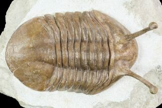 "Large, 3.3"" Stalk-Eyed Asaphus Kowalewskii Trilobite - Russia For Sale, #89996"