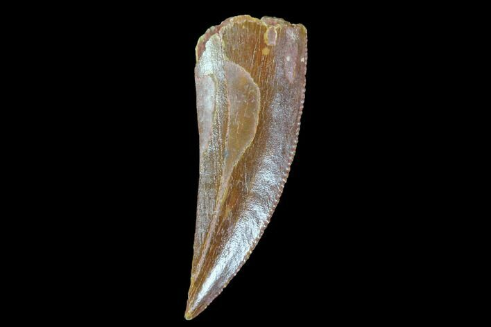".87"" Raptor Tooth - Real Dinosaur Tooth"