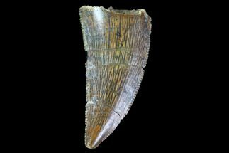 "Buy .84"" Raptor Tooth - Real Dinosaur Tooth - #90010"