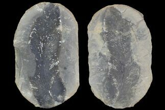 Macroneuropteris scheuchzeri - Fossils For Sale - #89886