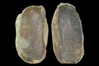 "Buy 3.2"" Fossil Macroneuropteris Seed Fern (Pos/Neg) - Mazon Creek - #89896"