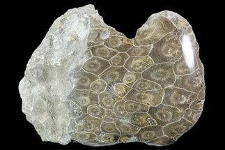 "Buy 5.8"" Polished Fossil Coral (Hexagonaria) - Morocco - #90250"