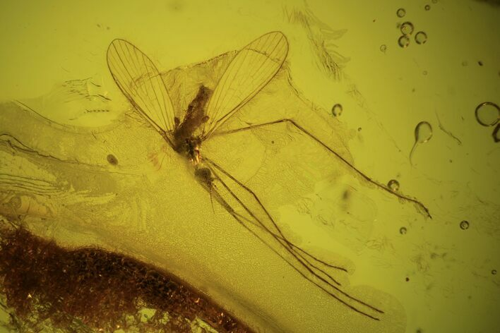 Detailed Fossil Cranefly (Limoniidae) In Baltic Amber