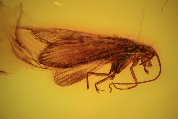 Detailed Fossil Caddisfly (Trichopterae) In Baltic Amber