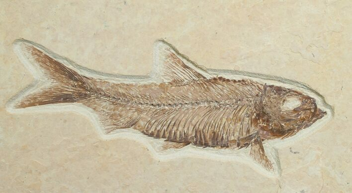"4.0"" Knightia Fossil Fish - Wyoming"