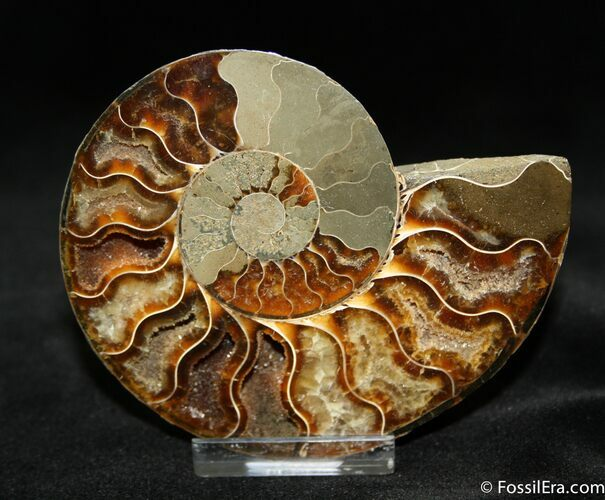 Beautiful 3.8 Inch Cut Ammonite (Half)